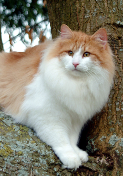 Breed: Norweigan Forest Cat